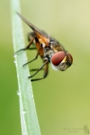 Raupenfliege-Tachinidae Spec.
