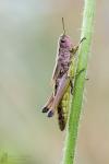 Sumpfgrashüpfer-Chorthippus montanus