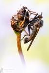 Tanzfliege-Empididae spec.