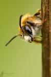 Wildbiene- Anthophila Spec.