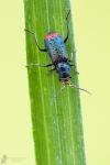 Zweifleckiger Zipfelkäfer-Malachius bipustulatus