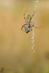 Wespenspinne-Argiope bruennichi01