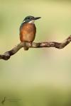 eisvogel-alcedo-atthis
