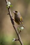 gruenfink-carduelis-chloris