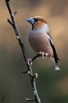 kernbeisser-coccothraustes-coccothraustes_1
